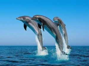 638e4456b4d60d6c_Jumping_Bottlenose_Dolphins.preview-300x225